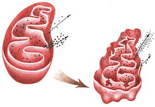 Митохондрия клетки